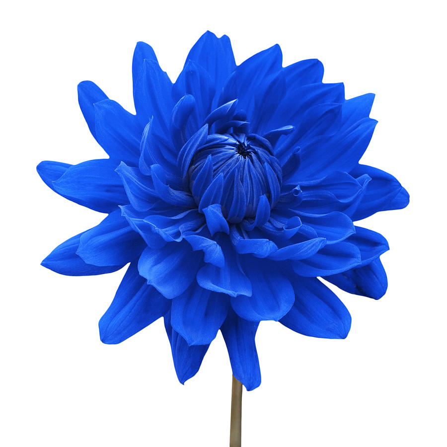 Blue dahlia flower white background photograph blue dahlia flower view full size mightylinksfo Choice Image
